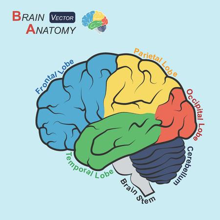 정면: Brain anatomy ( Flat design )  ( Frontal lobe , Temporal Lobe , Parietal Lobe , Occipital Lobe , Cerebellum , Brain stem )