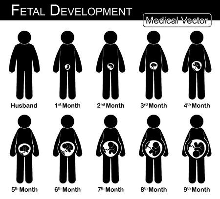bonhomme allumette: Le développement du f?tus (femme enceinte et la croissance du f?tus dans l'utérus) (étape par étape) (médical, Science et Santé notion) (mari et femme concept) (design plat, noir et blanc) Illustration