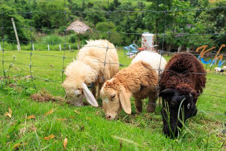 ovejas bebes: Las ovejas se alimentan de hierba en el distrito de Khao Kho, Phetchabun, Tailandia