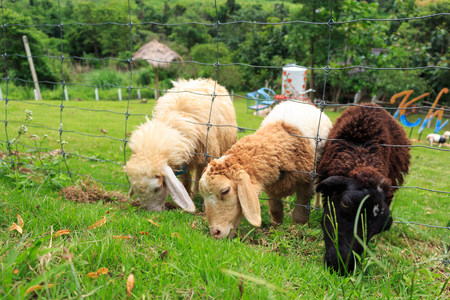 pecora: Pecore stanno mangiando l'erba nel distretto di Khao Kho, Phetchabun, Thailandia