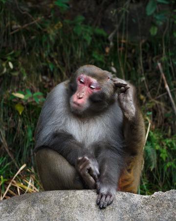 simian: monkey sit on rock and scratch its head at zhangjiajie national park , China