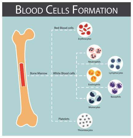 zelle: Die Blutzellen Formation (Knochenmark produzieren Blutkörperchen Serie: Erythrozyten, Lymphozyten, Neutrophilen, Monozyten, Eosinophilen, Basophilen, Thrombozyten) Hämatologie Konzept und Infografiken