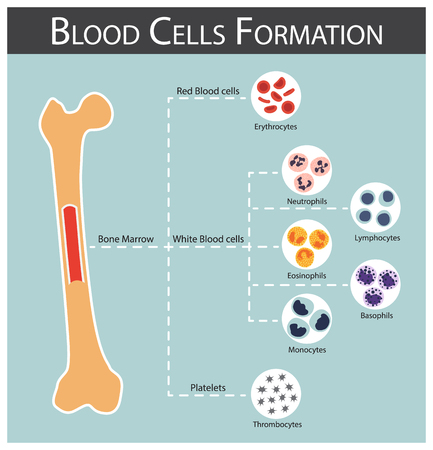 globuli Formazione (cellule del midollo osseo prodotti sanguigni serie: eritrociti, linfociti, neutrofili, monociti, eosinofili, basofili, trombociti) concetto di Ematologia e infografica
