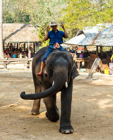 mahout: Chiangmai ,Thailand - February 20 : mahout ride elephant and elephant is dancing on February 20 ,2016 at Mae Sa elephant camp ,Chiangmai ,Thailand