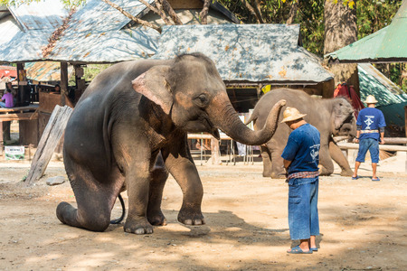 20 s: Chiangmai ,Thailand - February 20 : elephant is sitting and putting hat on mahout s head on February 20 ,2016 at Mae Sa elephant camp ,Chiangmai ,Thailand
