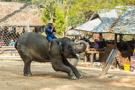 bending down: Chiangmai ,Thailand - February 20 : elephant is bending down and thank a people on February 20 ,2016 at Mae Sa elephant camp ,Chiangmai ,Thailand