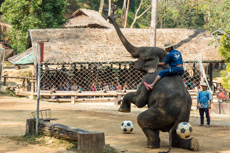 foreleg: Chiangmai ,Thailand - February 20 : elephant raise forelegs , bellow and prepare to kick football on February 20 ,2016 at Mae Sa elephant camp ,Chiangmai ,Thailand