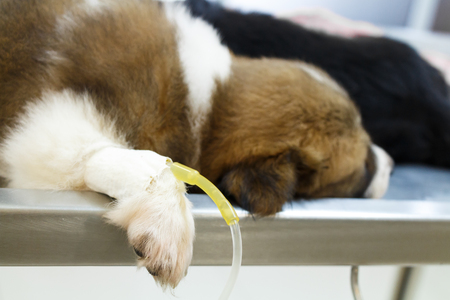 operating table: illness puppy ( Thai bangkaew dog ) with intravenous drip on operating table in veterinarians clinic