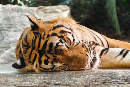 Bengal tiger ( Panthera tigris tigris ) is sleeping at Thailand . Stock Photo