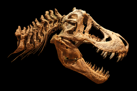 Skeleton of Tyrannosaurus rex ( T-rex ) on isolated background . ( Skull and Neck ) .