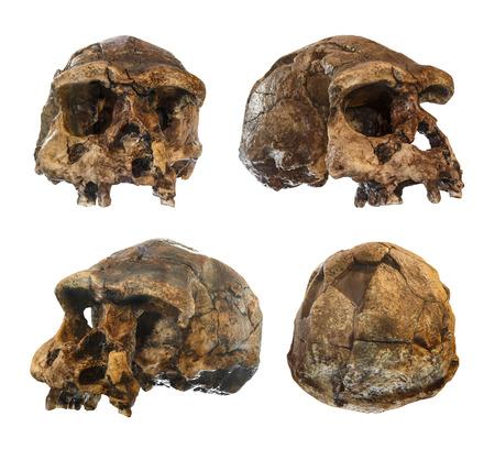 Ensemble de crâne Homo erectus. Découvert en 1969 à Sangiran, Java, Indonésie. Daté à 1 million d'années. (avant. côté. oblique. vue de dos).