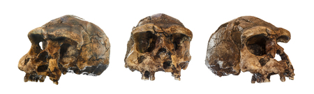 Set of Homo erectus skull . Discovered in 1969 in Sangiran , Java , Indonesia . Dated to 1 million years ago . ( front . side . oblique view ) .