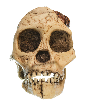 human evolution: Australopithecus africanus Skull . ( Taung Child ) . Dated to 2.5 million years ago . Discovered in 1924 in a limestone quarry near Taung village , South africa .