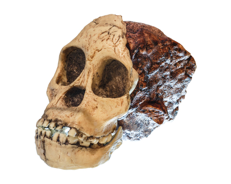 Australopithecus africanus Skull . ( Taung Child ) . Dated to 2.5 million years ago . Discovered in 1924 in a limestone quarry near Taung village , South africa .