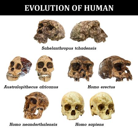 人間の頭蓋骨 (Sahelanthropus tchadensis の進化.アウストラロピテクス ・ アフリカヌス。ホモ ・ エレクトス。ネアンデル。ホモ ・ サピエンス)。 写真素材
