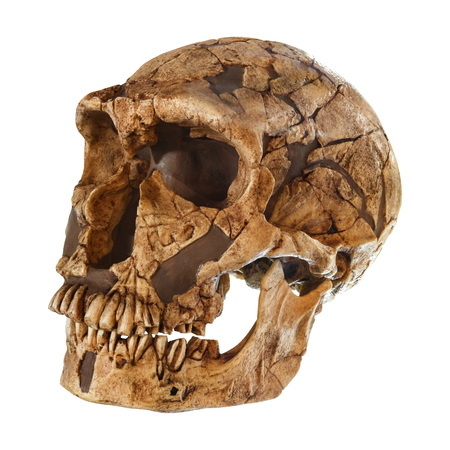 Homo neanderthalensis skull . ( La Ferrassie ) . Dated to 50,000 years ago . Discovered in 1909 in La Ferrassie , France .