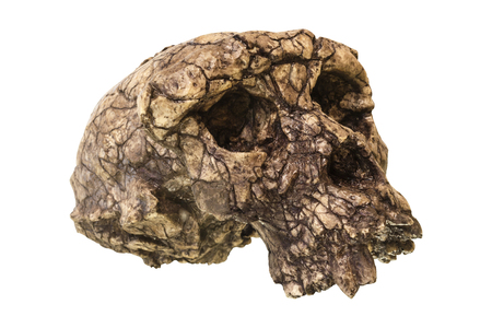 human evolution: Sahelanthropus tchadensis Skull ( Toumai ) . Discovered in 2001 in Djurab desert in Northern Chad , Central africa . Dated to 7-6 million years ago .