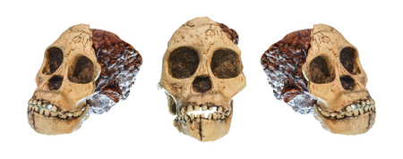 human evolution: Set of Australopithecus africanus Skull . ( Taung Child ) . Dated to 2.5 million years ago . Discovered in 1924 in a limestone quarry near Taung village , South africa .