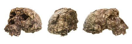 human evolution: Set of Sahelanthropus tchadensis Skull ( Toumai ) . Discovered in 2001 in Djurab desert in Northern Chad , Central africa . Dated to 7-6 million years ago . Front and back and side view .