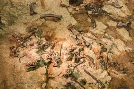 シリントーン博物館、カラシン、タイで Phuwiangosaurus sirindhornae の化石。(近く完全な化石)。