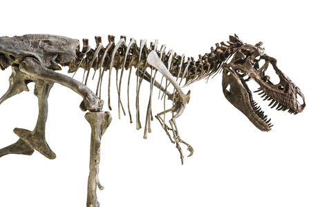 Tyrannosaurus Rex skeleton on isolated background . Reklamní fotografie