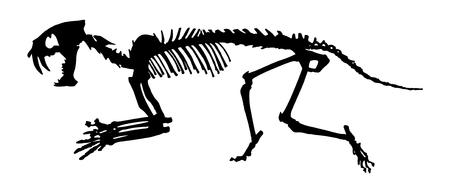 saber tooth: Saber - toothed tiger ( Hoplophoneus primaevus ) skeleton . Silhouette vector . side view .