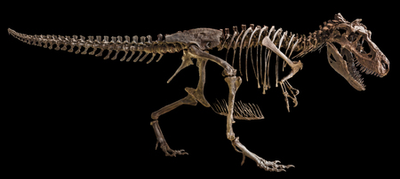 Tyrannosaurus Rex skeleton on isolated background . Banco de Imagens