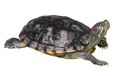 Red eared slider turtle ( Trachemys scripta elegans ) is creeping and raise one's head on white isolated background . Side view .