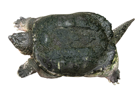 Snapping turtle ( Chelydra serpentina ) is creeping and raise one's head on white isolated background . Top view . Imagens - 107275748