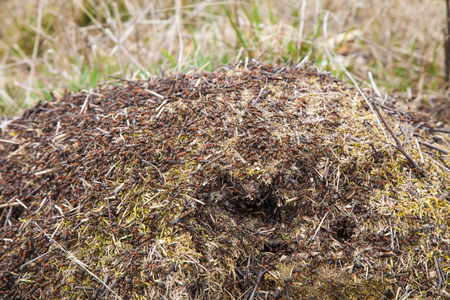 anthill: Big anthill in the woods.