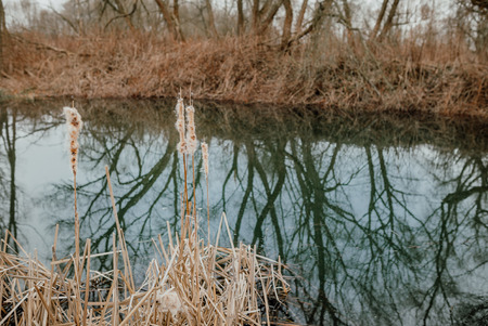 Cattail on the lakeshore