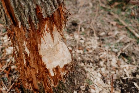 A tree bitten by beavers