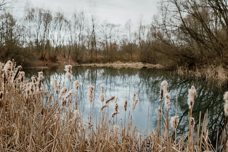 Gold cattail growing on the blue lake, early spring landscape