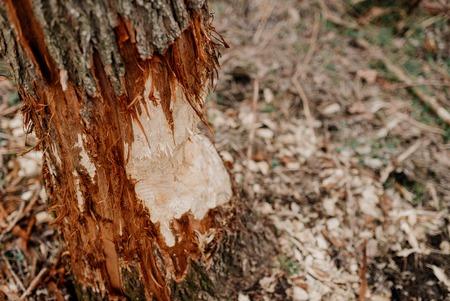 Single tree trunks damaged by beavers