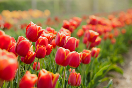 bellissimi vari tulipani in campo in Olanda