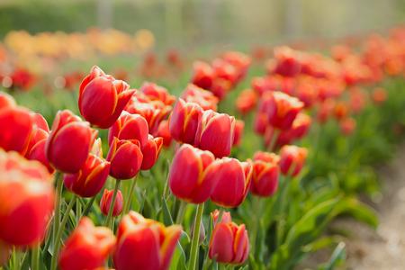 Varios hermosos tulipanes en el campo en Holanda