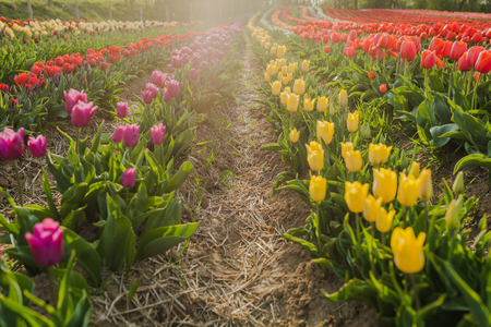beautiful various tulips at field in holland Stok Fotoğraf