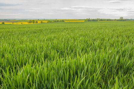 agriculture, wheat field, young wheat