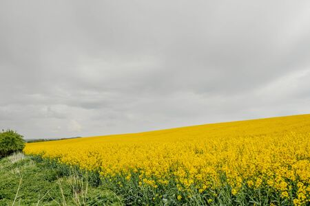 yellow oilseed field agriculture business 写真素材
