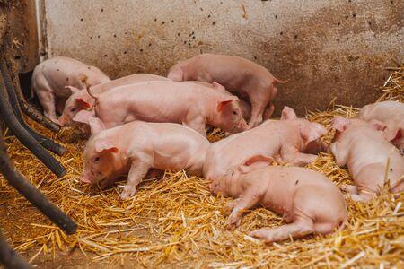 little piglets at pig farm