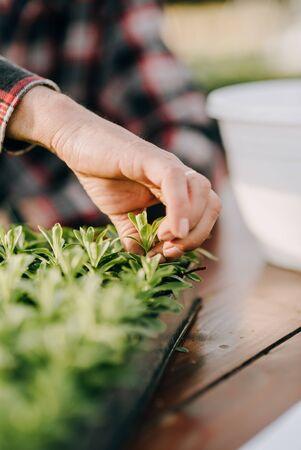 Lockdown shot of male botanist planting saplings in pots at greenhouse