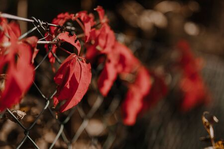 Autumn colors of the leaves of a five-leaved ivy on fence