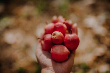 Handful of Red Apples in Hand in Garden 写真素材
