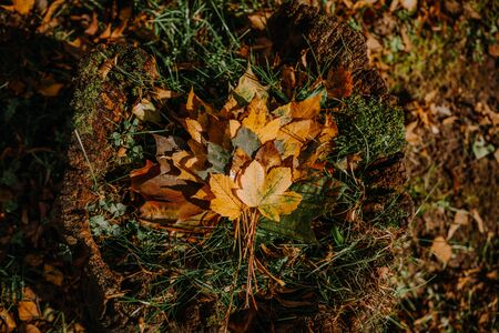 bouquet leaves lying on ground. Walking in Park on fresh air, healthy lifestyle. maple leaves in hand. Trendy autumn