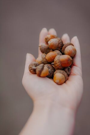 Womens hand holding bunch of old acorns 写真素材