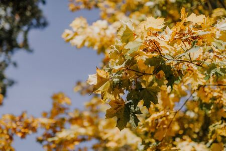 yellow leaves against blue sky on sunny day 写真素材