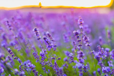 Beautiful Violet Lavender Field Agriculture