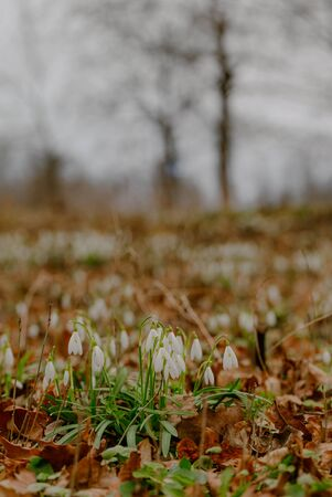 growing snowdrops in spring in park