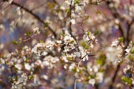 beautiful view of flowering cherries - Agriculture. Cherries flowering at agricultural cherry farm - cherry production.