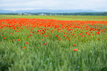 Beautiful blooming poppies in the meadow